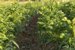 Il giacimento verde delle patate con la crescita di fiori bianchi sugli agricoltori organici sistema fotografia stock libera da diritti
