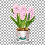 Il giacinto conservato in vaso rosa si sviluppa da una lampadina nel suolo isolato su un fondo trasparente un'illustrazione di ve Immagine Stock