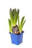 Il giacinto della fioritura in un vaso Immagini Stock Libere da Diritti