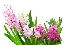 Il giacinto fiorisce le piante Immagini Stock Libere da Diritti