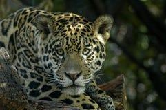 Il giaguaro Fotografie Stock