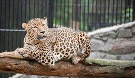 Il giaguaro ha un resto Fotografie Stock