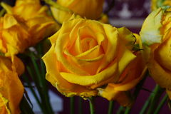 Il giallo è aumentato Mazzo Macro Fotografie Stock Libere da Diritti