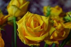 Il giallo è aumentato Mazzo Macro Fotografia Stock