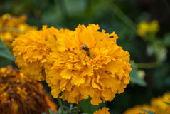 Il giallo arancio fiorisce il tagete Immagine Stock Libera da Diritti