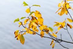 Il giallo autunnale asciutto lascia la macro fotografie stock libere da diritti