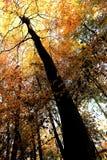 Il giallo d'ardore va sugli alberi a Nunburnholme il Yorkshire orientale Inghilterra immagini stock libere da diritti