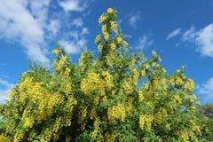 Il giallo dell'arbusto della scopa del Cytisus fiorisce su un fondo del cielo blu Immagine Stock Libera da Diritti