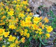 Il giallo della pianta medicinale fiorisce la barretta dorata Fotografia Stock