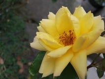 Il giallo della piena fioritura è aumentato fotografia stock