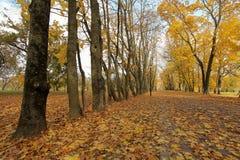 Il giallo di autunno lascia sull'albero nel parco della città Fotografia Stock