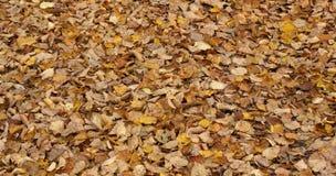 Il giallo di autunno lascia vibrante colorato Fotografia Stock