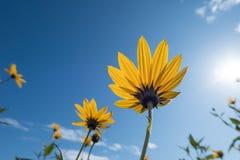 Il giallo fiorisce il cielo blu immagine stock libera da diritti