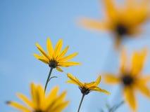 Il giallo fiorisce il cielo blu immagini stock libere da diritti