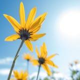 Il giallo fiorisce il cielo blu fotografie stock