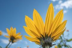 Il giallo fiorisce il cielo blu immagine stock