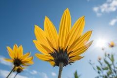 Il giallo fiorisce il cielo blu immagini stock