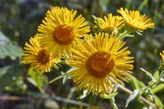 Il giallo fiorisce il helenio di Inula nella foresta Fotografia Stock Libera da Diritti