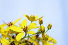 Il giallo fiorisce il fondo, Fotografie Stock