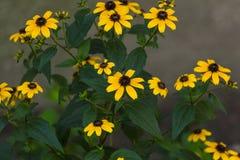 Il giallo fiorisce il fondo Immagini Stock