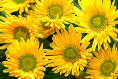 Il giallo fiorisce il fondo Fotografie Stock