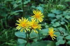 Il giallo fiorisce il helenio di Inula Immagini Stock Libere da Diritti