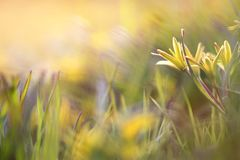 Il giallo fiorisce l'oca sull'erba Immagini Stock Libere da Diritti