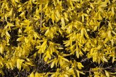 Il giallo fiorisce la forsythia sulla foto di struttura del cespuglio in primavera Immagini Stock