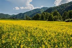 Il giallo fiorisce le montagne del prato Immagini Stock