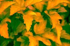 Il giallo lascia il fondo sul cespuglio immagini stock libere da diritti