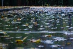 Il giallo lascia il galleggiamento su asfalto bagnato in foresta piovosa autunnale Fotografie Stock Libere da Diritti
