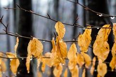 Il giallo lascia l'attaccatura su un ramo dopo pioggia Immagine Stock