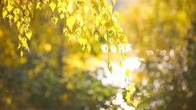 Il giallo lascia l'ondeggiamento nel vento nel parco di autunno al tramonto stock footage