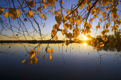 Il giallo lascia le betulle al tramonto Immagini Stock Libere da Diritti
