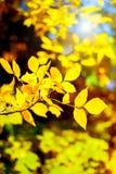Il giallo lascia nel fondo delle foglie di autunno della foresta di autunno Fotografie Stock Libere da Diritti