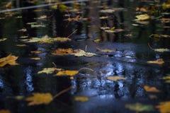 Il giallo lascia su asfalto bagnato in foresta piovosa autunnale Immagini Stock