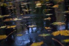 Il giallo lascia su asfalto bagnato in foresta pluviale autunnale Immagine Stock Libera da Diritti