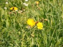 Il giallo luminoso fiorisce il primo piano Fotografia Stock