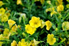Il giallo luminoso fiorisce le viole del pensiero Immagine Stock