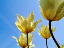 Il giallo luminoso ha colorato i tulipani contro un fondo di un cielo blu Fotografie Stock