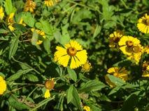 Il giallo modesto fiorisce il helenio Fotografia Stock
