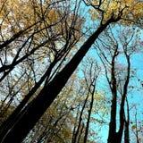Il giallo scuro va sugli alberi a Nunburnholme il Yorkshire orientale Inghilterra immagini stock libere da diritti