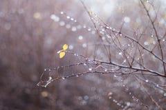 Il giallo solo va sui rami nudi di autunno con le gocce di pioggia con fondo vago immagini stock libere da diritti