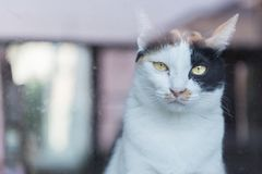 Il giallo tailandese del gatto ha osservato lo sguardo tramite lo specchio Fotografie Stock Libere da Diritti