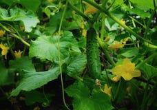 il giallo verde del cetriolo fiorisce le foglie Immagini Stock Libere da Diritti