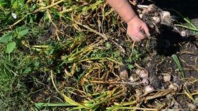 Il giardiniere della donna scuote la terra con aglio archivi video