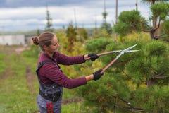 Il giardiniere della donna taglia il pino facendo uso delle cesoie Fotografia Stock