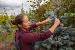 Il giardiniere della donna taglia l'abete rosso blu facendo uso delle cesoie Immagine Stock