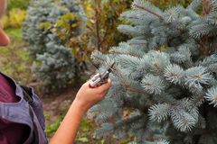 Il giardiniere della donna taglia l'abete rosso blu facendo uso delle cesoie Fotografia Stock