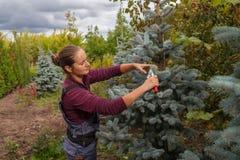 Il giardiniere della donna taglia l'abete rosso blu facendo uso delle cesoie Fotografia Stock Libera da Diritti